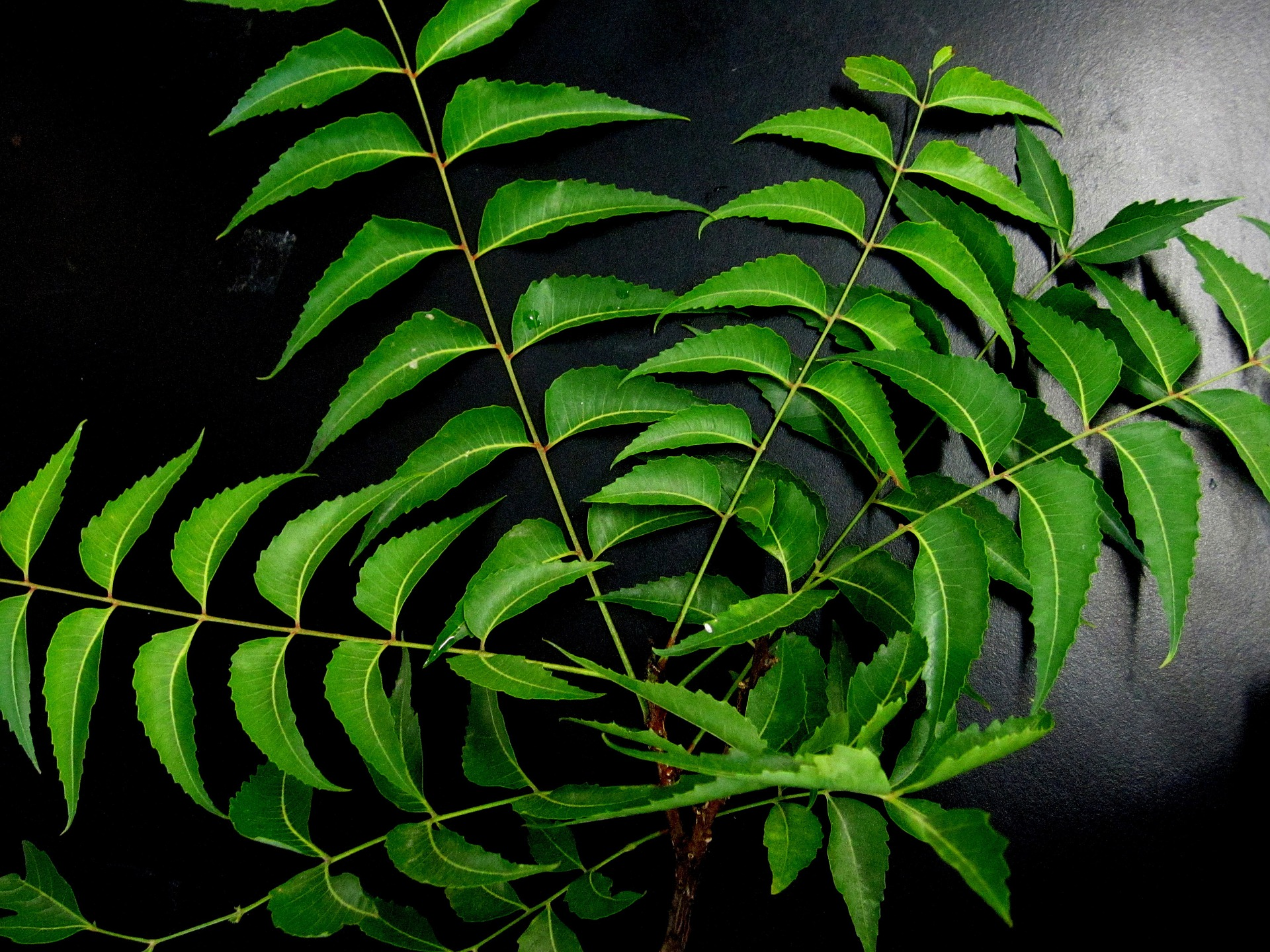 Neem in Hindi