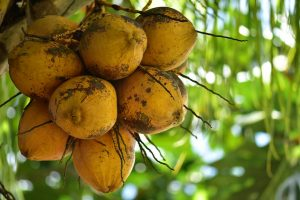 ताडगोला के 8 जबरदस्त फायदे और नुकसान। Benefits and Side-Effects of Palm Fruit in Hindi