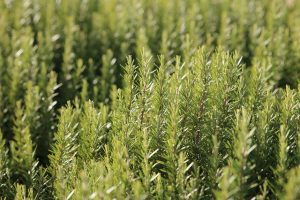 रोजमेरी के फायदे और नुकसान। Benefits and Side-Effects of Rosemary in Hindi